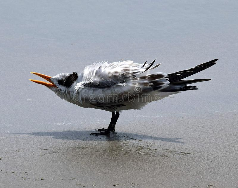 Королевский tern стоковое фото