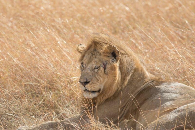 Король Мужчина Лев Портрет в Masai Mara стоковая фотография rf