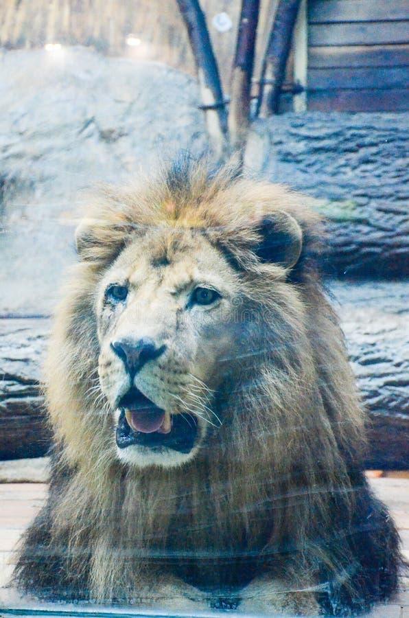 Король на зоопарке стоковые изображения