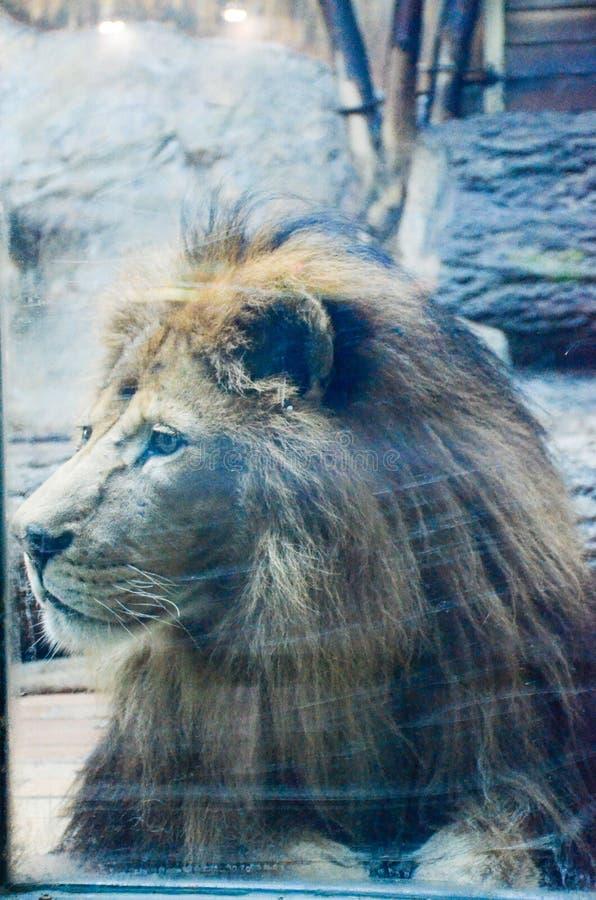 Король на зоопарке стоковая фотография rf
