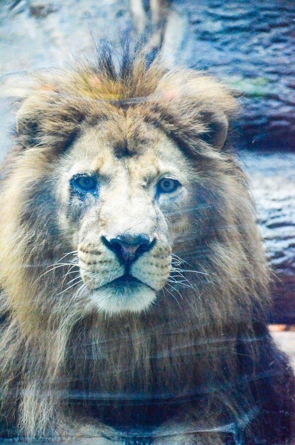 Король на зоопарке стоковая фотография