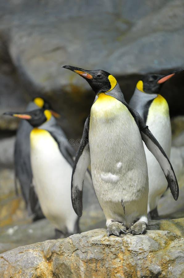Король пингвины стоковое изображение