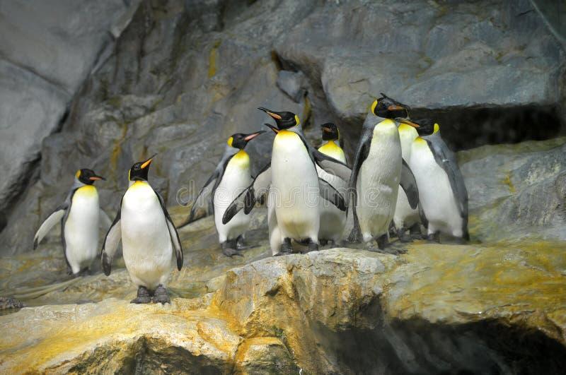 Король пингвины стоковое фото