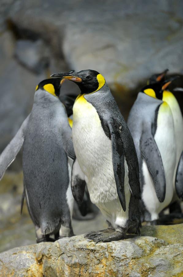 Король пингвины стоковая фотография
