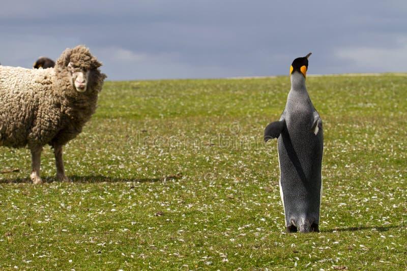 Король пингвин и любознательная овца стоковая фотография
