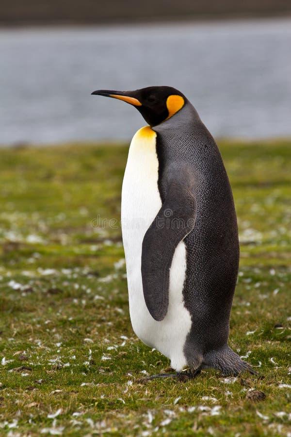 Король пингвин стоковое изображение