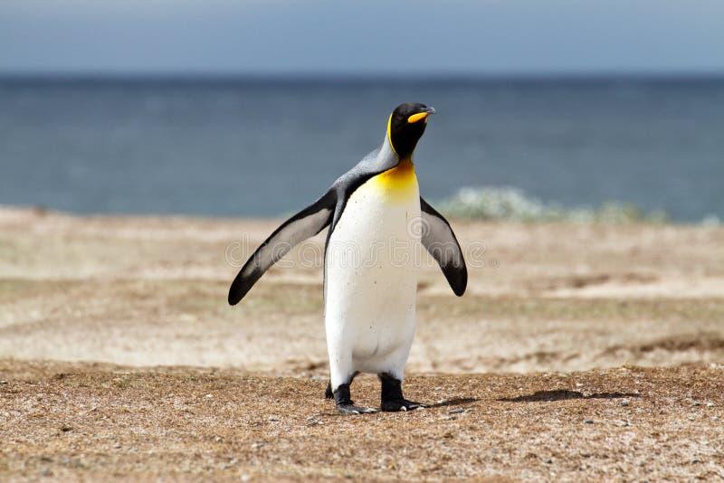 Король пингвин стоковая фотография rf