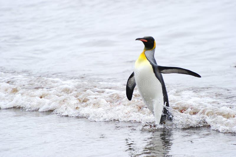 Король пингвин (patagonicus Aptenodytes) приходя вне вода стоковая фотография rf