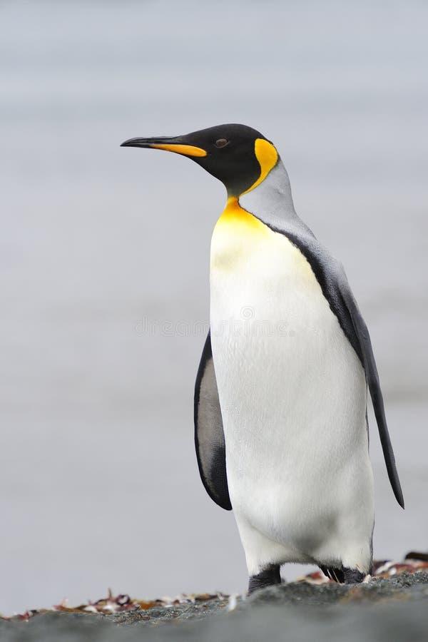 Король пингвин (patagonicus Aptenodytes) стоя на пляже стоковые изображения rf