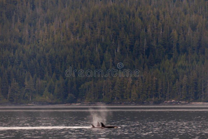 Косатки плавая и играя в проливе Johnstone в Британской Колумбии стоковые изображения