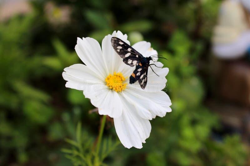 Космос сада или bipinnatus космоса цветок или мексиканская астра белый с насекомым сумеречницы тигра стоковая фотография rf