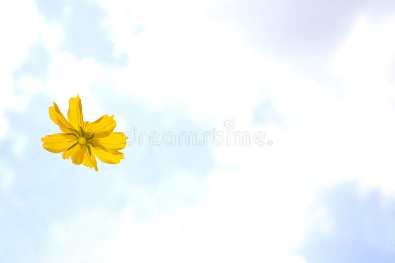 космос цветет желтый цвет стоковая фотография rf
