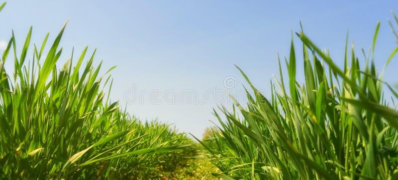 Космос экземпляра viev свежей молодой травы панорамный стоковое изображение rf