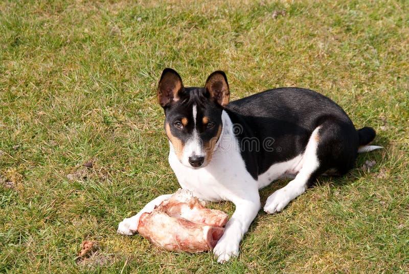 косточка защищая щенка tricolor стоковые фото