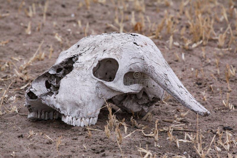Косточки черепа стоковое изображение
