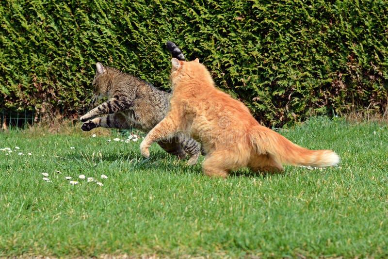 2 кота воюя на саде стоковое фото