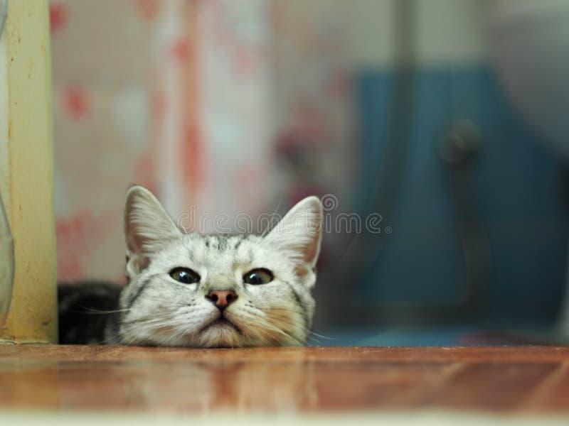 Кота котенка милой американской породы коротких волос нашивки молодого серые и белые стоковая фотография rf