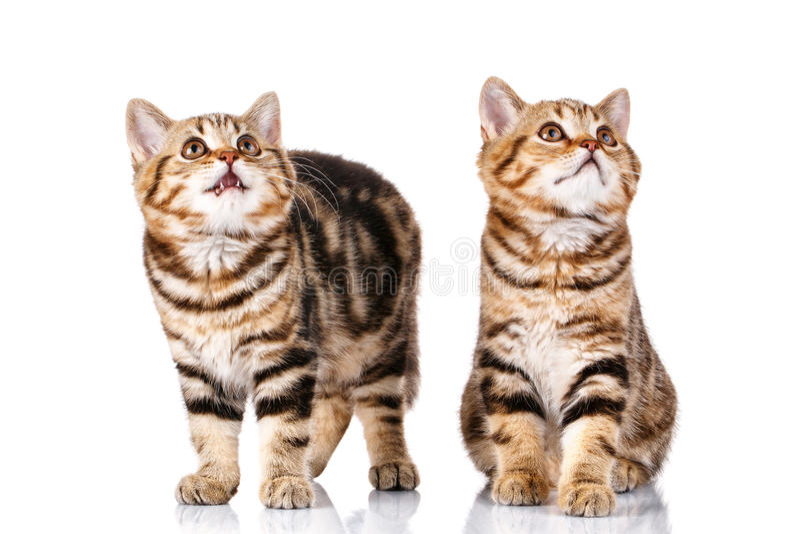 2 кота на белой предпосылке стоковые фотографии rf