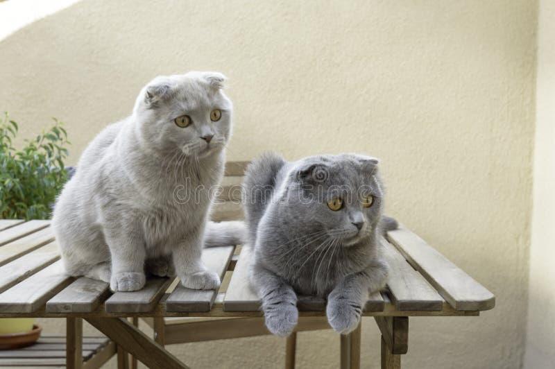 2 кота створки Scottish стоковые фотографии rf