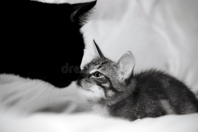 2 кота, черного взрослый и малый striped котенок, животные обнюхивают носы ` s одина другого, стоковое фото rf