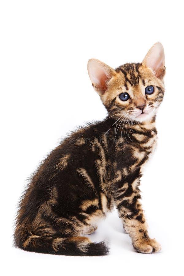 котенок Бенгалии стоковое фото