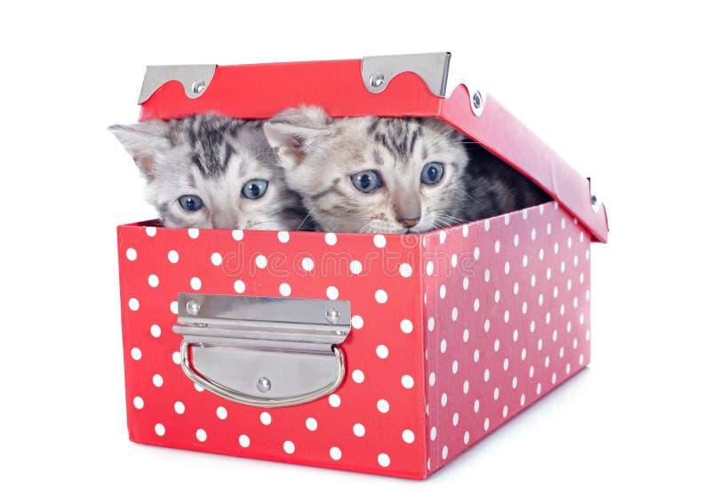 Котенок Бенгалии в коробке стоковые изображения