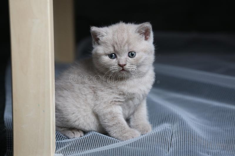 Котенок британцев Shorthair голубой отдыхая на белой сети стоковое изображение