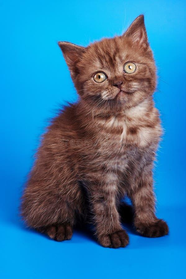 Котенок великобританского кота сидит стоковое фото