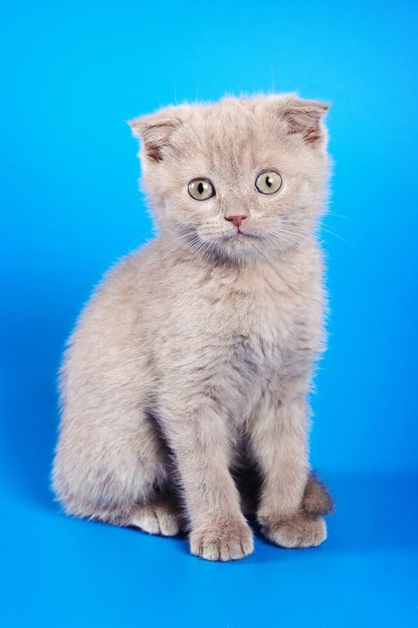 Котенок великобританского кота сидит стоковая фотография rf