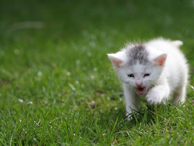 котенок внимания немногая screaming стоковая фотография