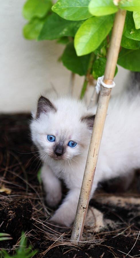 котенок голубых глазов стоковые фотографии rf