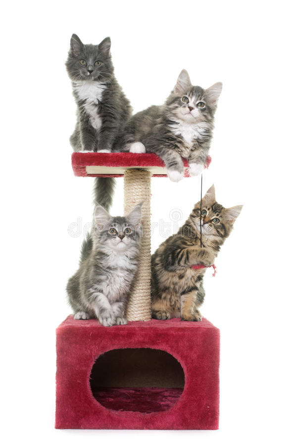Котенок енота Мейна на царапать столб стоковые фото