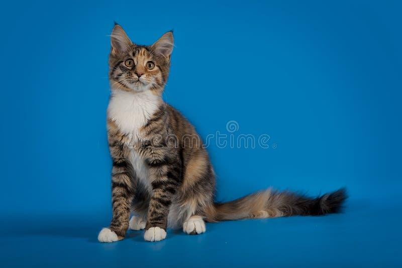 Котенок енота Мейна сидит на голубой предпосылке студии стоковая фотография rf