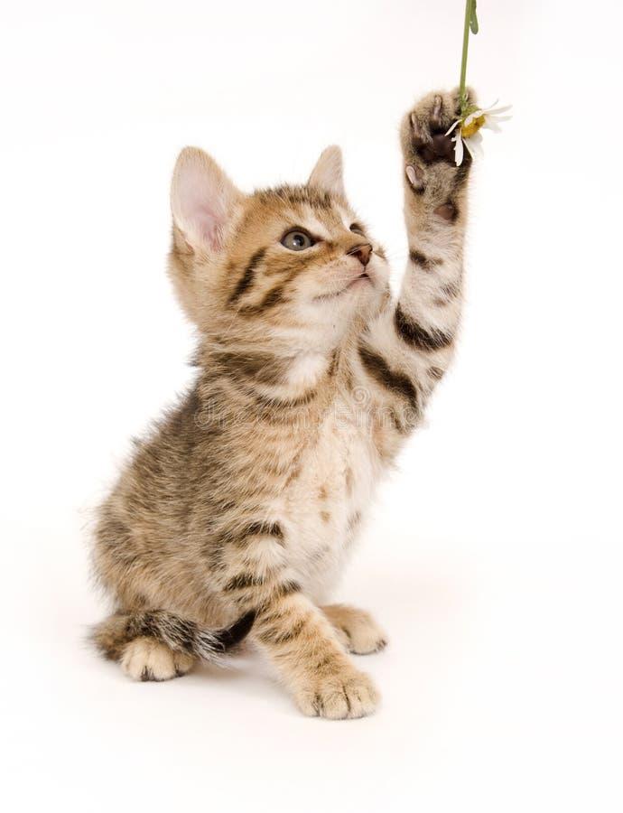 котенок играя tabby стоковое фото rf