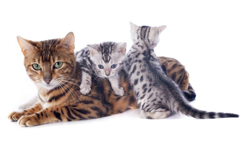 Котенок и взрослый Бенгалии стоковое фото rf