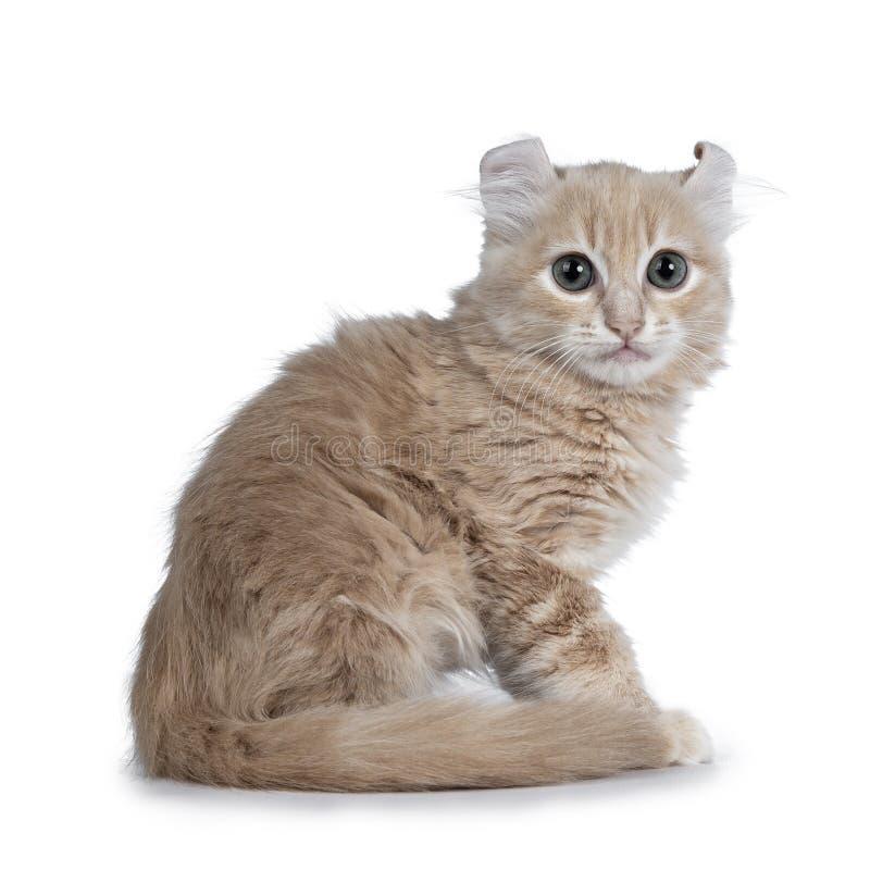 Котенок кота скручиваемости милой сливк 10 недель старой американский, изолированный на белизне стоковое фото