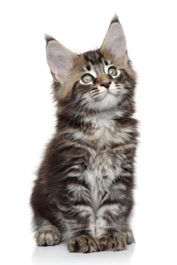 Download котенок Мейн енота стоковое изображение. изображение насчитывающей крыто - 40575221