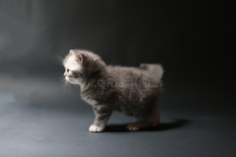 Котенок младенца британцев Shorthair стоковые изображения rf