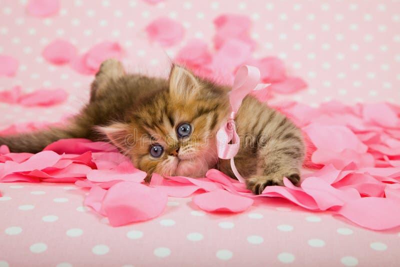 Котенок на розовых розовых лепестках стоковые фотографии rf