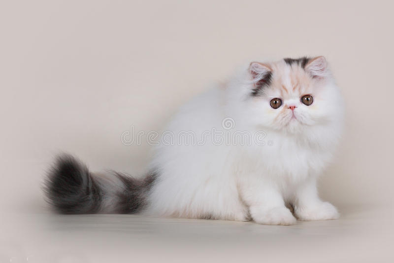 Котенок персиянки Extrimal стоковые изображения