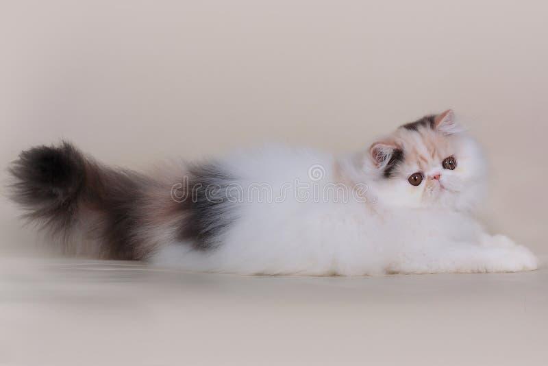 Котенок персиянки Extrimal стоковое изображение rf
