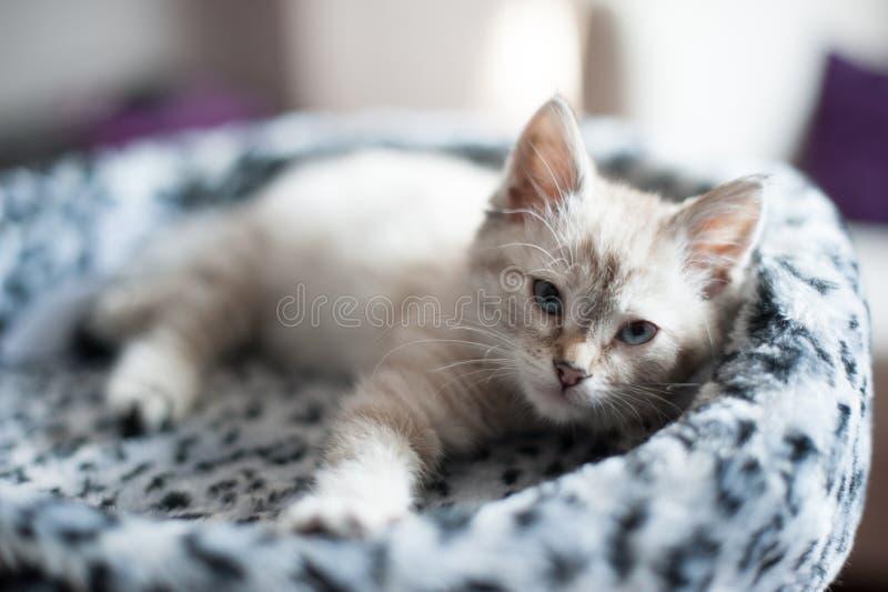 Котенок светлого цвета стоковые изображения rf
