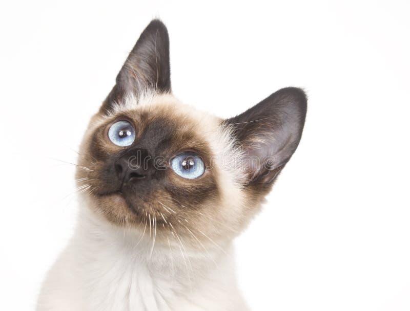 котенок смотря сиамское поднимающее вверх стоковое изображение rf