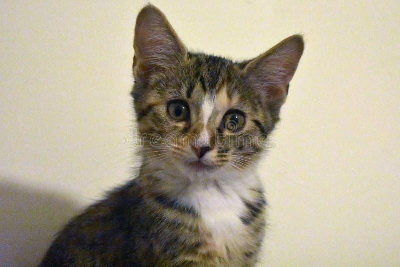 Котенок - спасенный на 10 неделях стоковое изображение