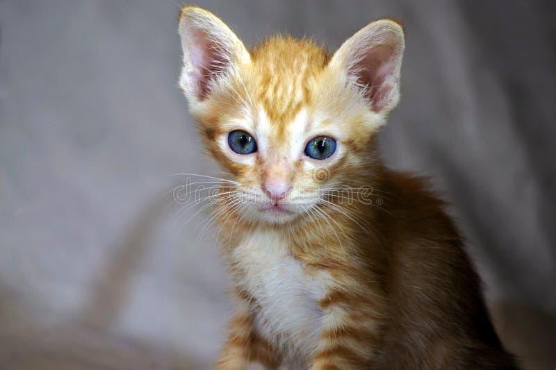 Котенок с голубыми глазами с тенью стоковое фото rf