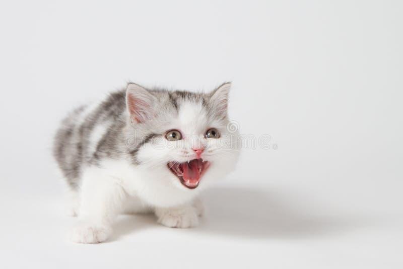 Котенок meows котенок purebred окриков Котенок младенца стоковые изображения rf