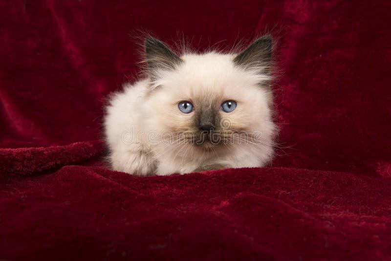 Котенок ragdoll младенца при голубые глазы лежа вниз на бургундском velv стоковые фотографии rf