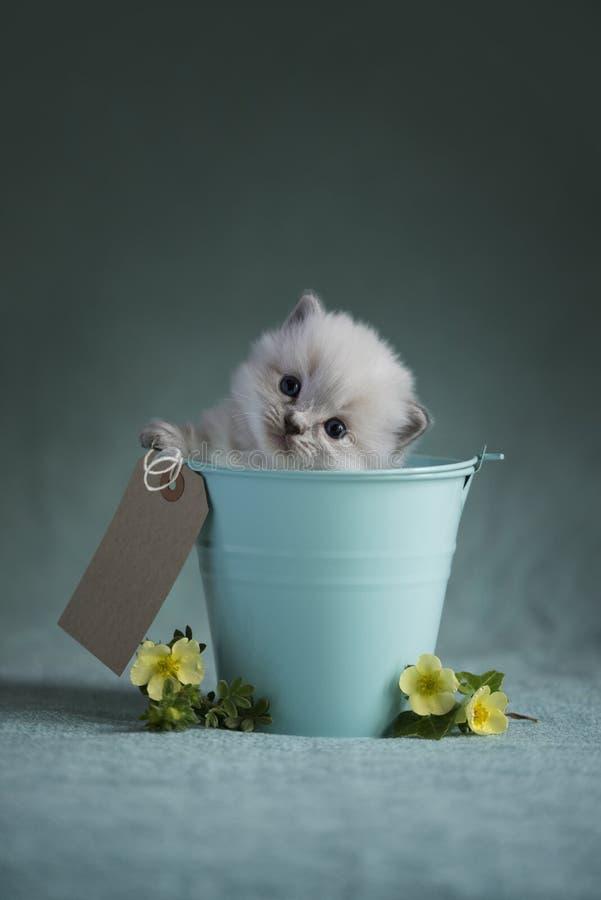 Котенок Ragdoll стоковые фото