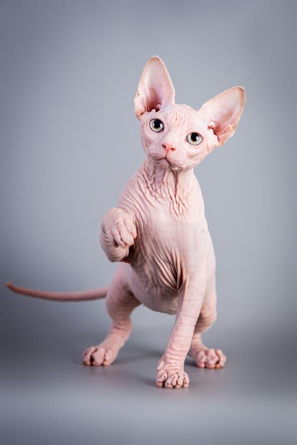 Котенок Sphynx канадский безволосый играя на серой предпосылке, фото студии стоковая фотография rf