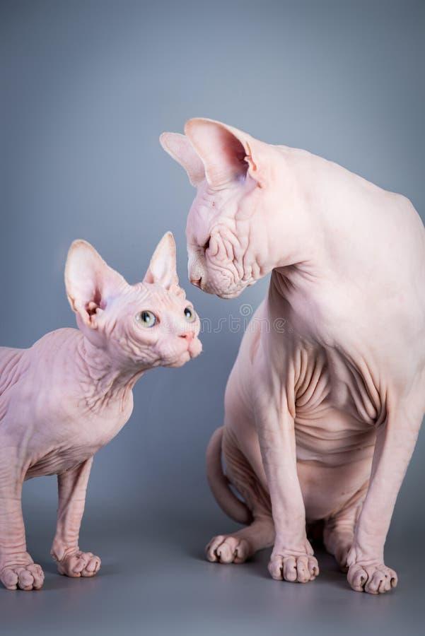 Котенок Sphynx канадский безволосый с его папой на серой предпосылке, фото студии стоковые изображения
